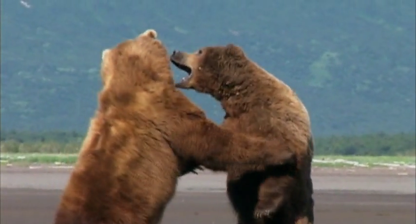 essay on grizzly bears The day i survived a very grizzly bear attack: as long as i live, i will never forget that powerful animal charging towards me by guy grieve updated: 19:29 edt, 25 november 2009.